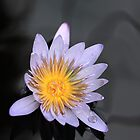 Lavender Water Lily by jenndes
