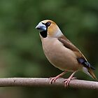 Curious Hawfinch by Janika