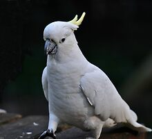 Sulphur Crested Cockatoo at Sherbrooke by Tom Newman