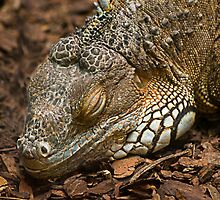 sleepy iguana by Manon Boily