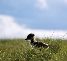 Lapwing Chick by Lindamell