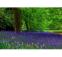 Bluebell Wood - Thorpe Perrow #1  (Spring) Photographic Print