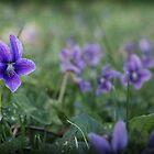 Violets by A Smith