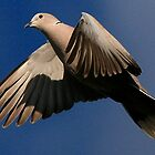 The Collared Dove by snapdecisions