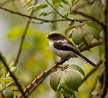 A juvenile long-tailed tit by Jon Lees