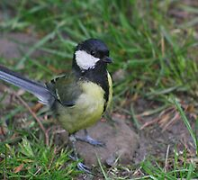 Great tit having a good look at me ! by blueandwhite80