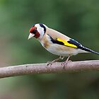 European Goldfinch by Janika