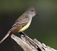 Great Crested Flycatcher by Gary Fairhead