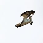 Osprey Diving for Fish by David Friederich