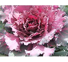 Cabbage (6457) Photographic Print