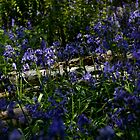 English Bluebells by Dawn OConnor