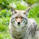 Coyote 1 by Sean McConnery