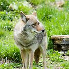 Coyote 3 by Sean McConnery