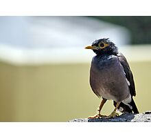 A fat bellied Myna Photographic Print