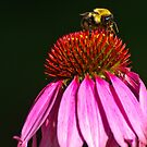 BUMBLEBEE ON PURPLE CONE FLOWER by RGHunt