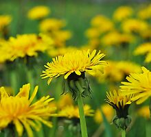 Dandelion Army by marco10