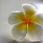 Single Frangipani by ShotsOfLove