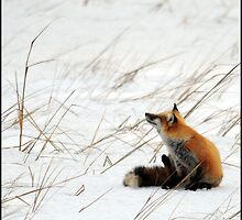Fox in the Snow by Jim Jankowski