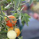 Tomatoes by AlexKokas
