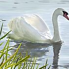 Swan's Morning Swim by Joan A Hamilton