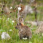Wild Rabbit at Druridge Bay Northumberland by Moonlake