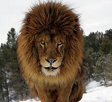 Lion by mrshutterbug