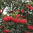 Waratah by Sea-Change