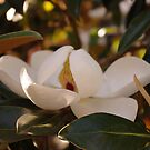 Southern Magnolias by Martha Andreatos