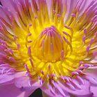 Purple Water Lily Macro by reneecettie
