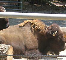 Relaxing Buffalo by dreamNwish