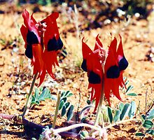 Sturt's Desert Pea by Michael Vickery