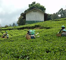 people picking up tea by bayu harsa