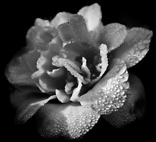 Dew spattered by AnnabelHC