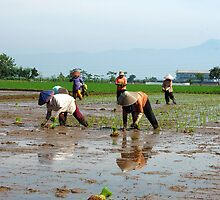 planting paddies by bayu harsa