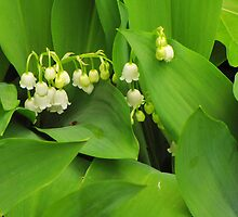 Lily of the Valley by CountryVistas