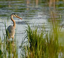 Great Blue Heron - Ottawa, Ontario by Michael Cummings