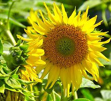 Sunflower by Caren