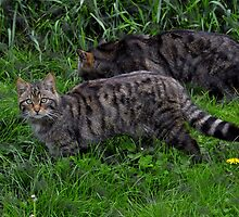 Scottish wildcat I'm no pussycat by Grandalf