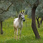 white horse under olive trees- Turkey by David Chesluk