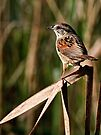 Swamp Sparrow  - Chaffey's Locks, Ontario by Michael Cummings