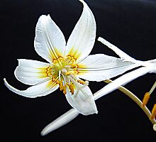 Fawn Lily by Jann Ashworth