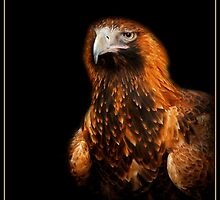 Wedge-tailed Eagle on black by roger smith
