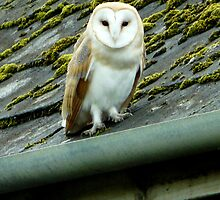 barn owl by Russell Couch