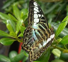 Butterfly at Cincinnati's Krohn Conservatory by debbiedoda