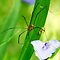 Spiderwort and Daddy Long Legs by Rita Ballantyne