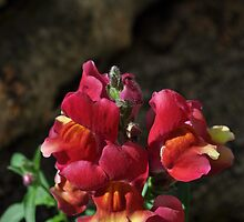 Snapdragon Red by A Different Eye Photography