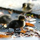 Duckling Action by Adam Jones
