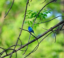Indigo Bunting Series x 2 by charlie murray