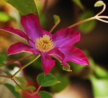 Clematis Vine by photojeanic