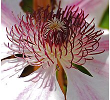 Clematis Detail Photographic Print